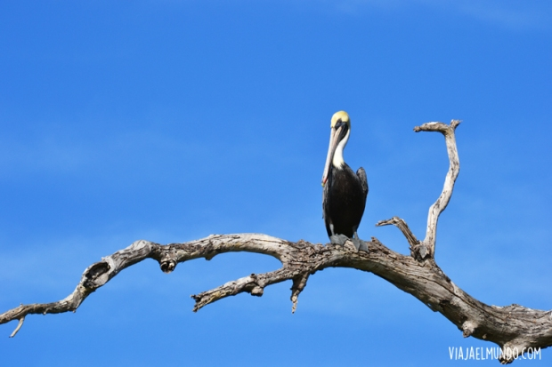 LaBlanquilla_pelicano