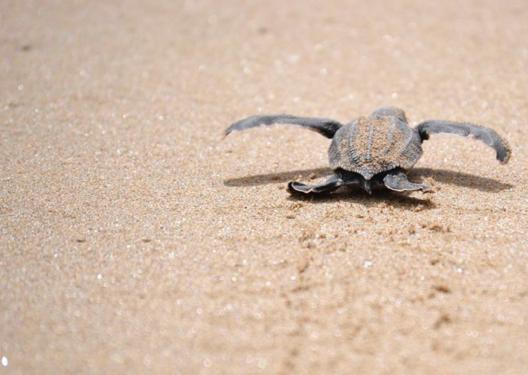 Los tortuguillos nacen y buscan el camino al mar, sin saber qué les depara la suerte